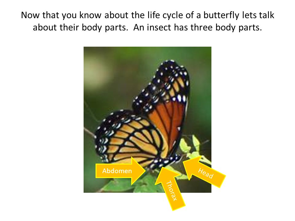 Now that you know about the life cycle of a butterfly lets talk about their body parts. An insect has three body parts. Head Abdomen Thorax