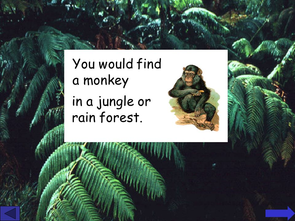 You would find a monkey in a jungle or rain forest.