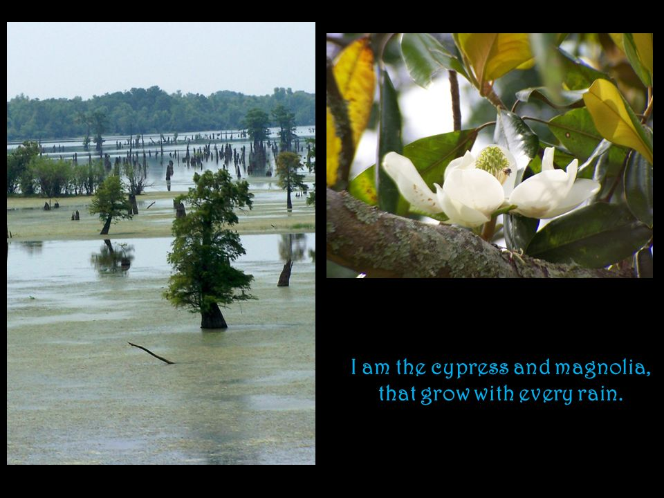 I am the cypress and magnolia, that grow with every rain.