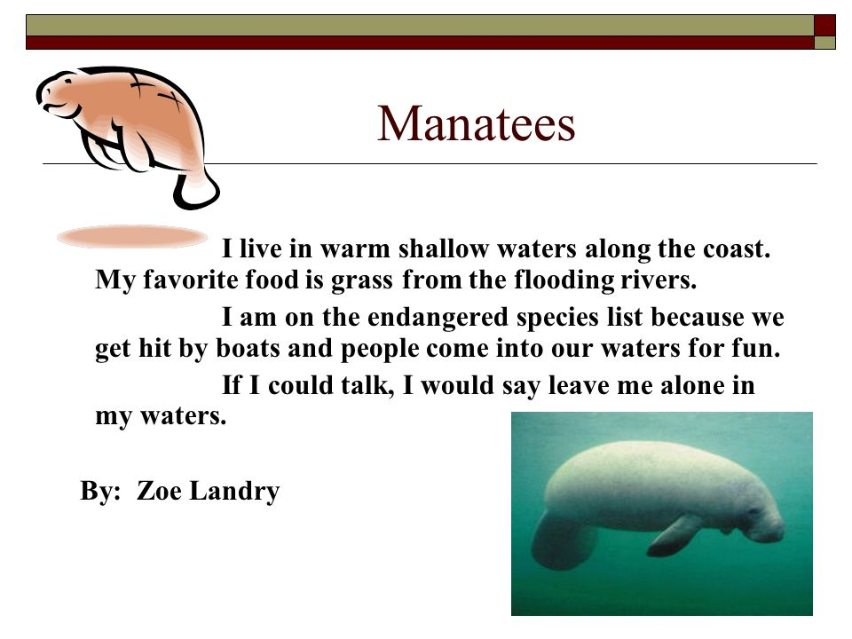 Manatees I live in warm shallow waters along the coast. My favorite food is grass from the flooding rivers. I am on the endangered species list becaus