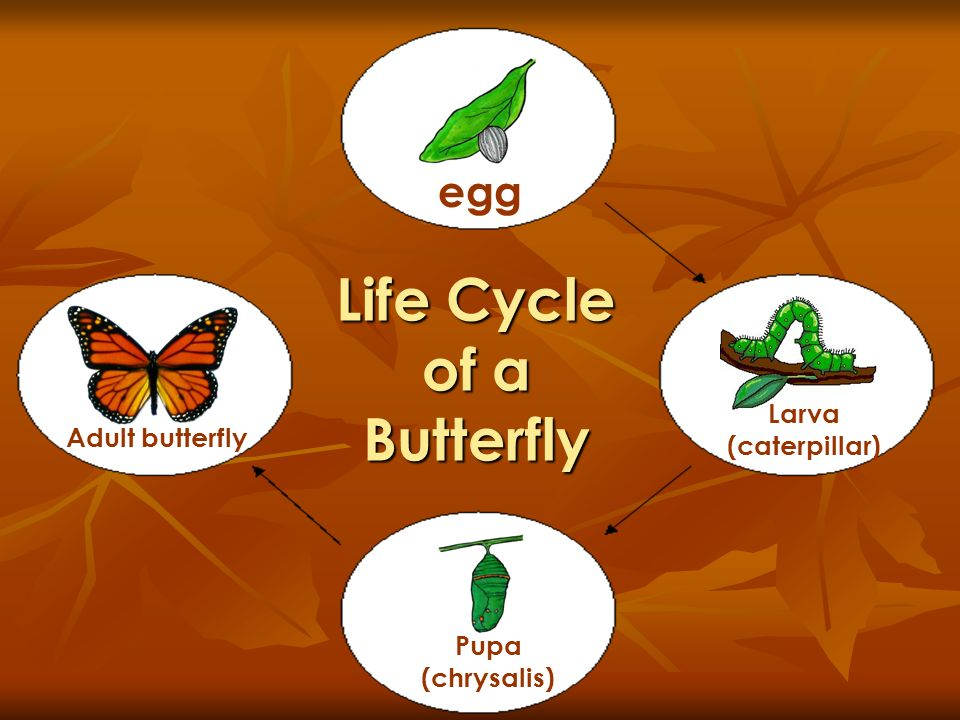 Life Cycle of a Butterfly egg Larva (caterpillar) Pupa (chrysalis) Adult butterfly