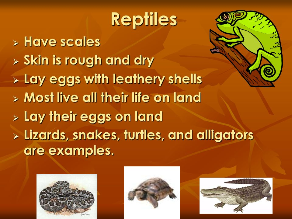 Reptiles Have scales Have scales Skin is rough and dry Skin is rough and dry Lay eggs with leathery shells Lay eggs with leathery shells Most live all