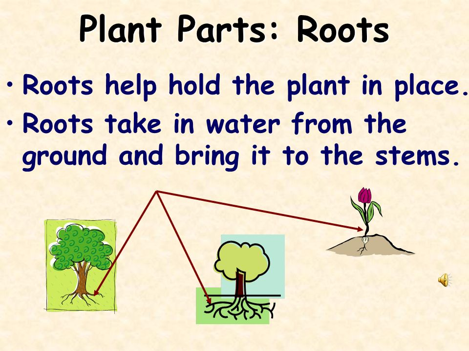Plants have 4 basic parts. Flowers Leaves Stems Roots
