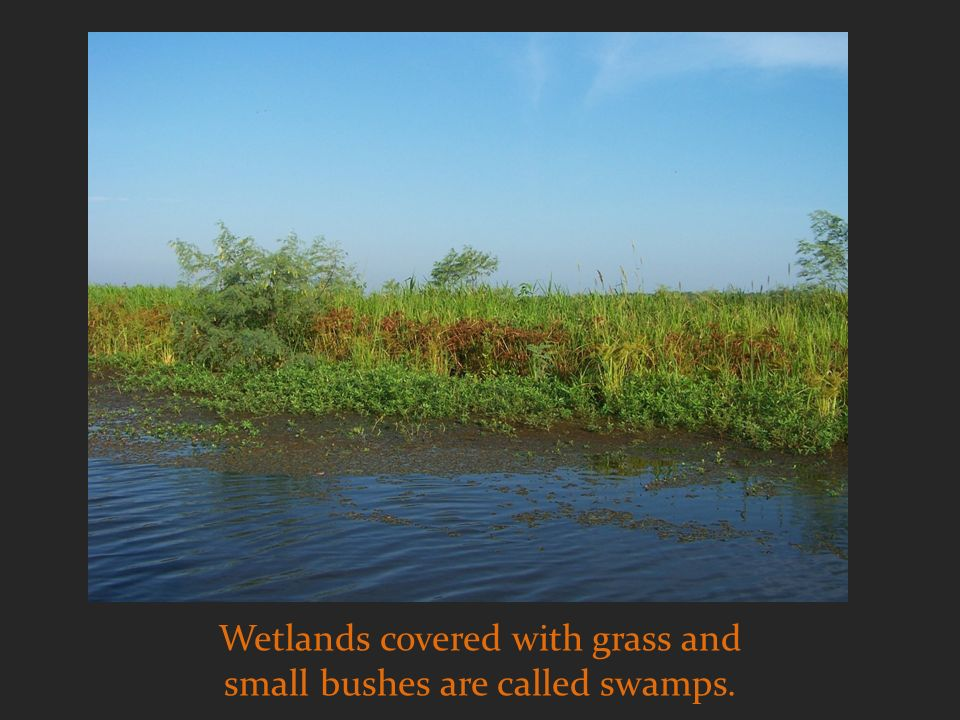 Wetlands covered with grass and small bushes are called swamps.