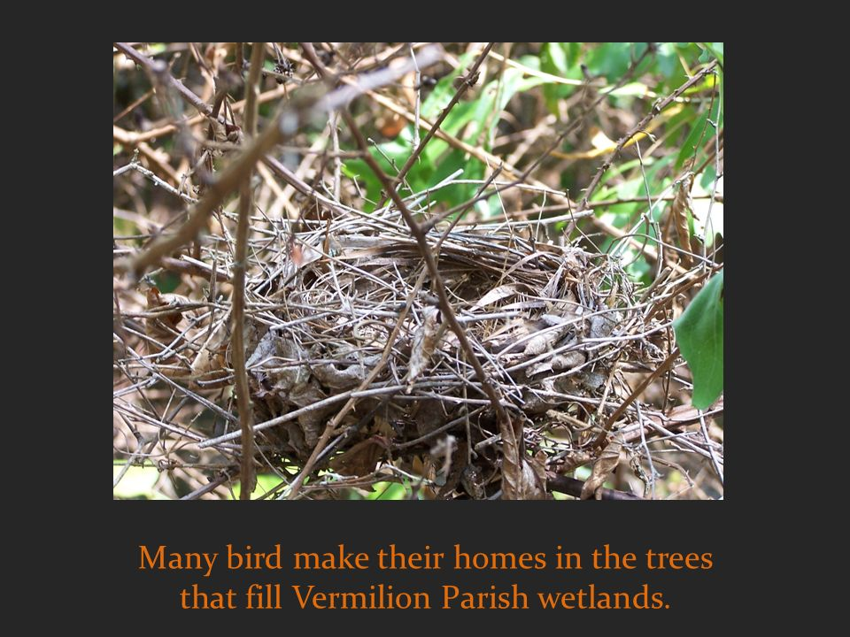 Many bird make their homes in the trees that fill Vermilion Parish wetlands.