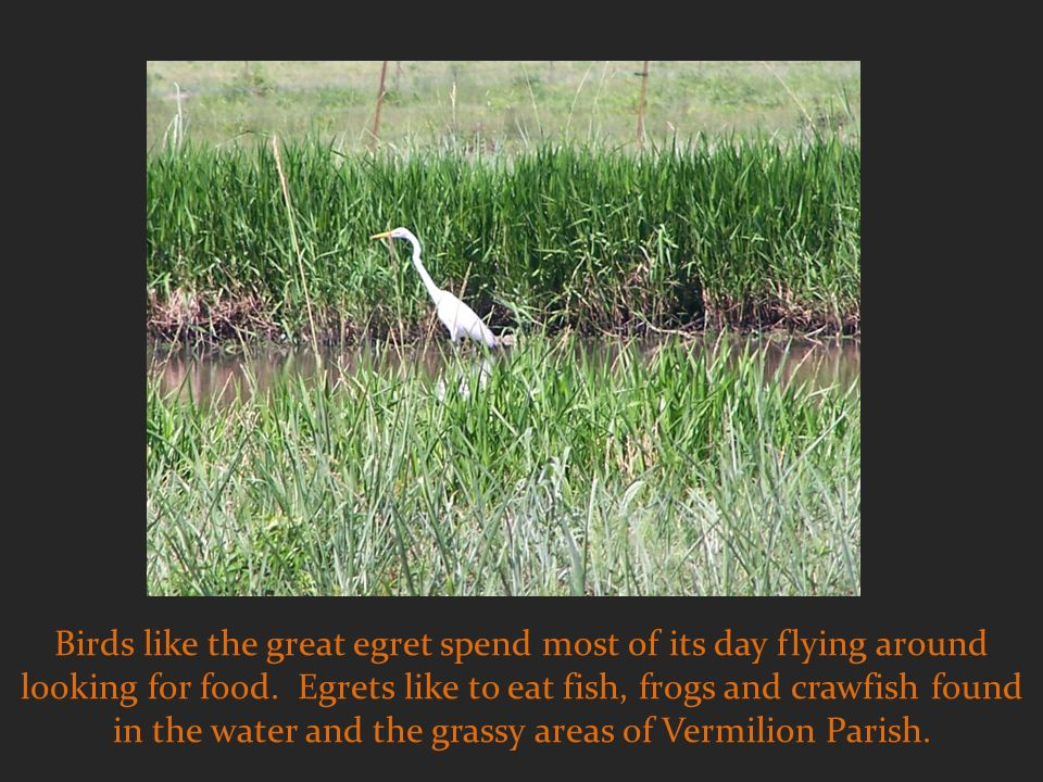 Birds like the great egret spend most of its day flying around looking for food.