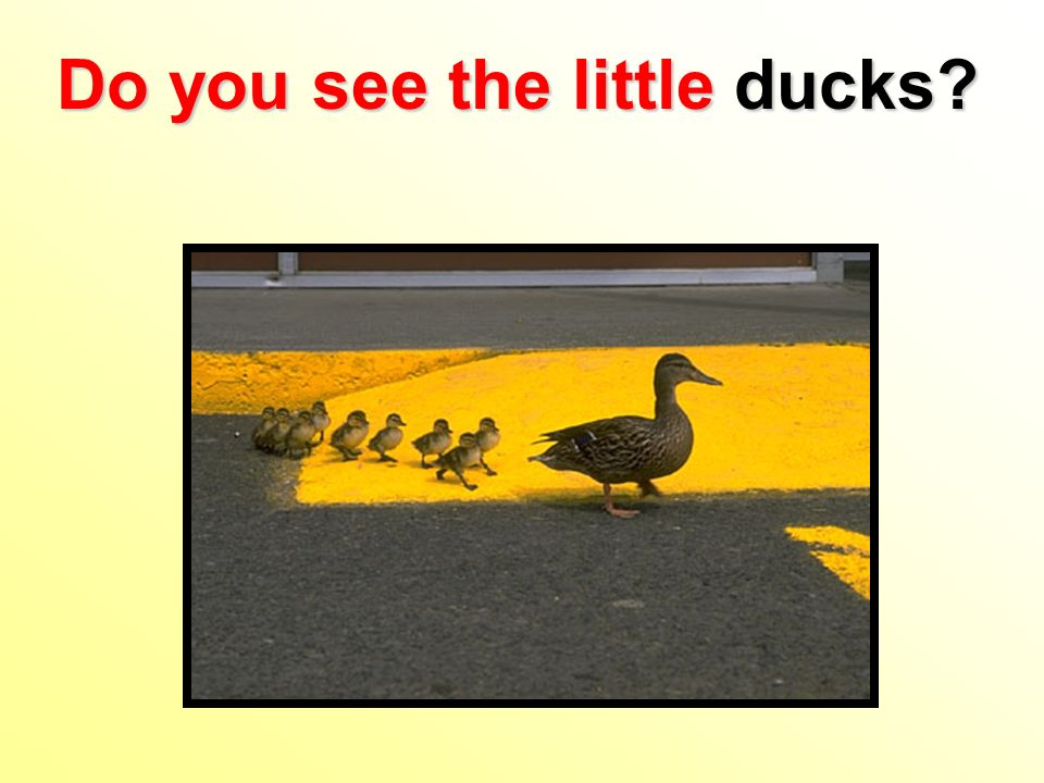Do you see the little ducks
