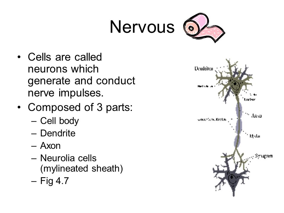 Nervous Cells are called neurons which generate and conduct nerve impulses.