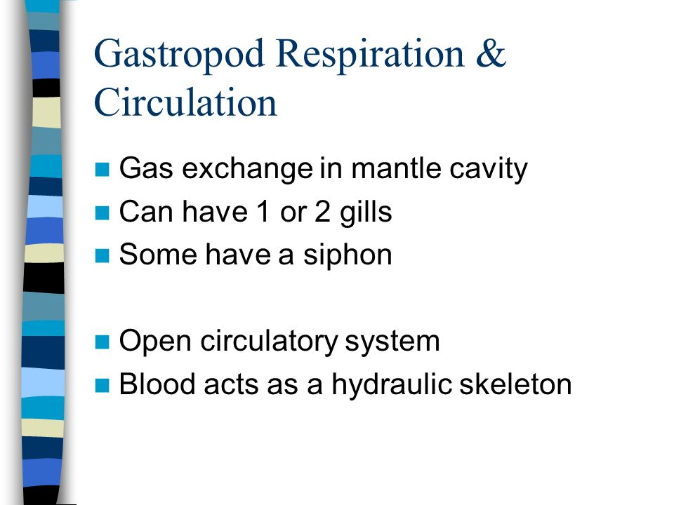 Gastropod Respiration & Circulation Gas exchange in mantle cavity Can have 1 or 2 gills Some have a siphon Open circulatory system Blood acts as a hyd