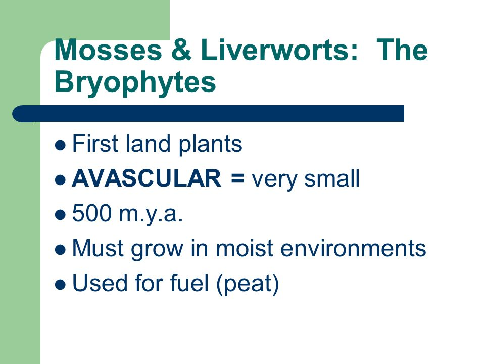 Mosses & Liverworts: The Bryophytes First land plants AVASCULAR = very small 500 m.y.a. Must grow in moist environments Used for fuel (peat)