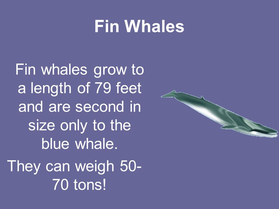 Fin Whales Fin whales grow to a length of 79 feet and are second in size only to the blue whale.
