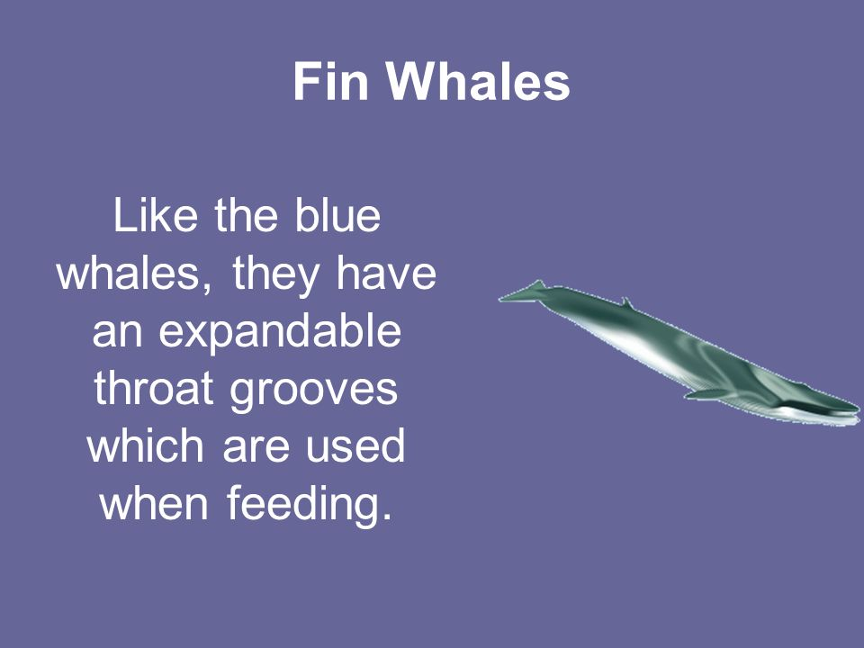 Fin Whales Like the blue whales, they have an expandable throat grooves which are used when feeding.