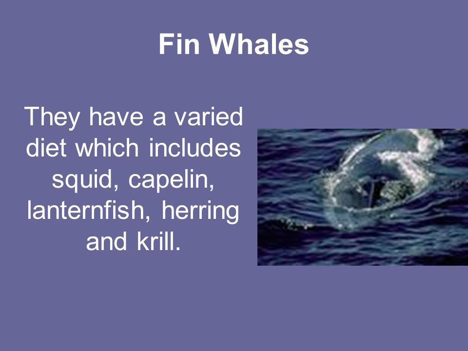 Fin Whales They have a varied diet which includes squid, capelin, lanternfish, herring and krill.