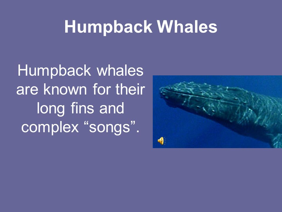 Humpback Whales Humpback whales are known for their long fins and complex songs.