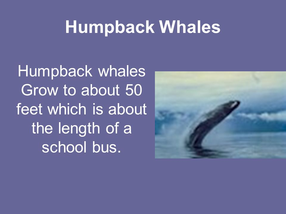 Humpback Whales Humpback whales Grow to about 50 feet which is about the length of a school bus.