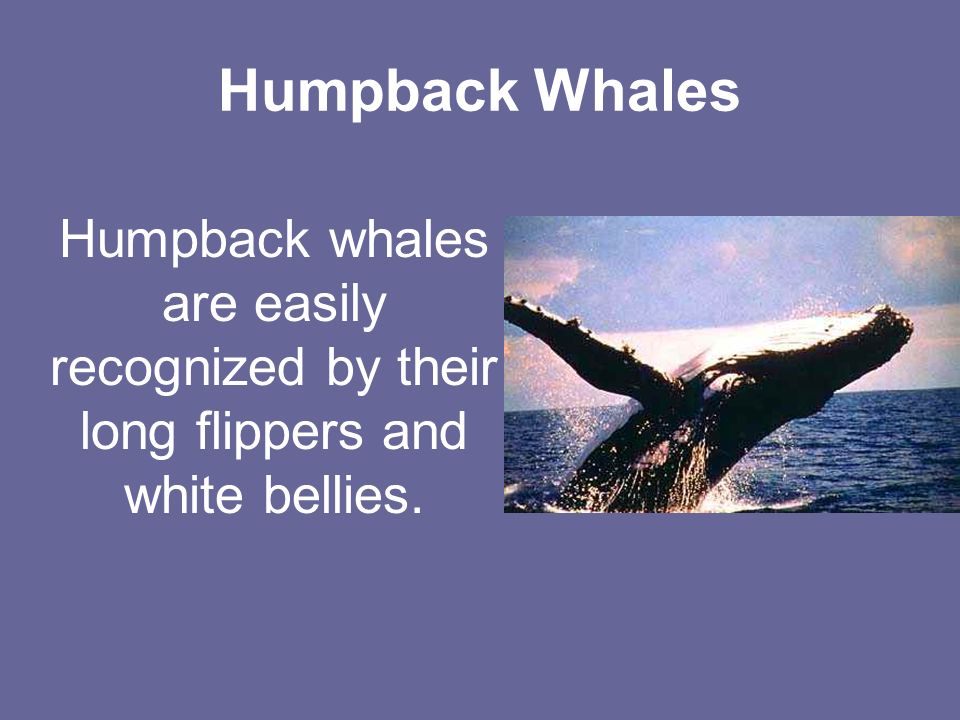 Humpback Whales Humpback whales are easily recognized by their long flippers and white bellies.