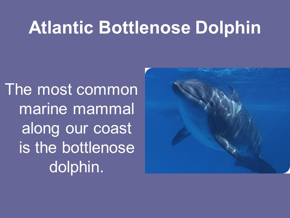 Atlantic Bottlenose Dolphin The most common marine mammal along our coast is the bottlenose dolphin.