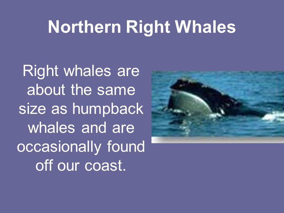 Northern Right Whales Right whales are about the same size as humpback whales and are occasionally found off our coast.