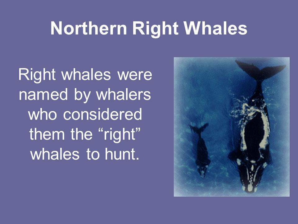 Northern Right Whales Right whales were named by whalers who considered them the right whales to hunt.