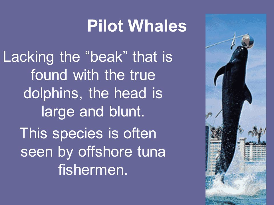 Pilot Whales Lacking the beak that is found with the true dolphins, the head is large and blunt.