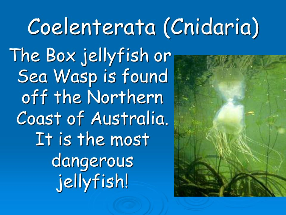 Coelenterata (Cnidaria) The Box jellyfish or Sea Wasp is found off the Northern Coast of Australia. It is the most dangerous jellyfish! The Box jellyf