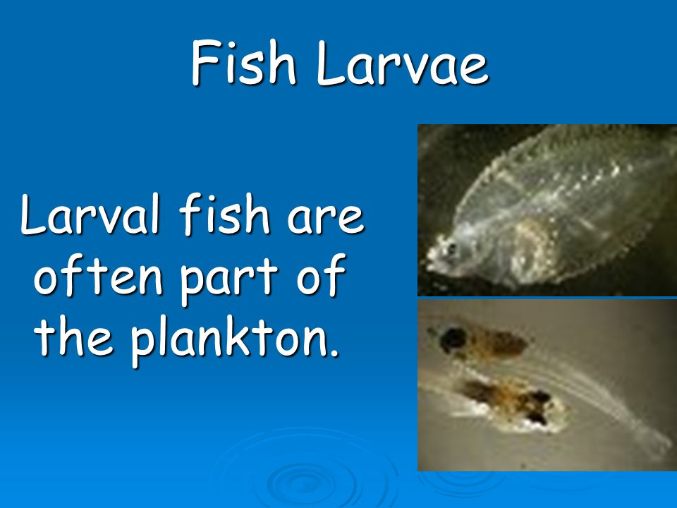 Fish Larvae Larval fish are often part of the plankton. Larval fish are often part of the plankton.