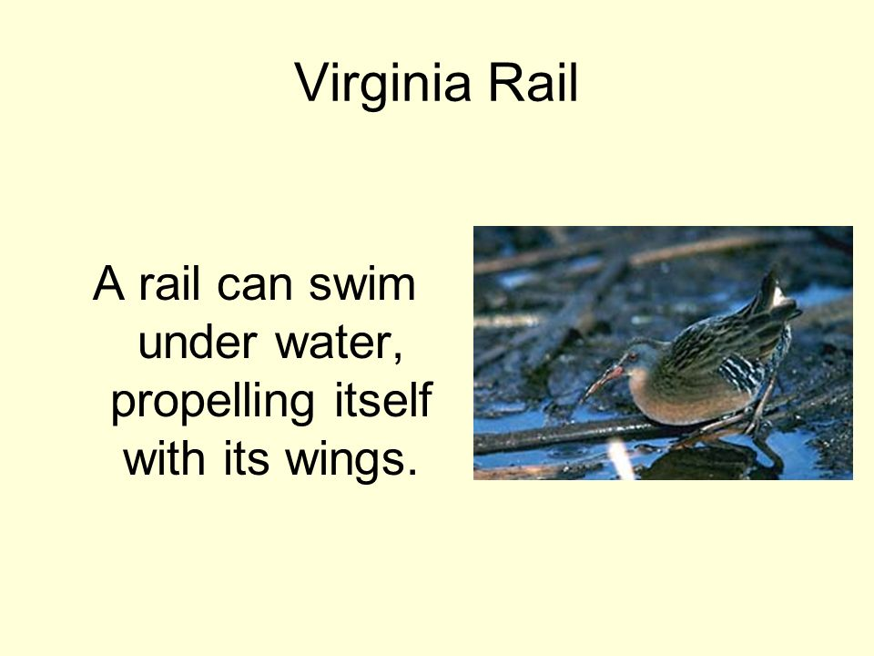 Virginia Rail A rail can swim under water, propelling itself with its wings.