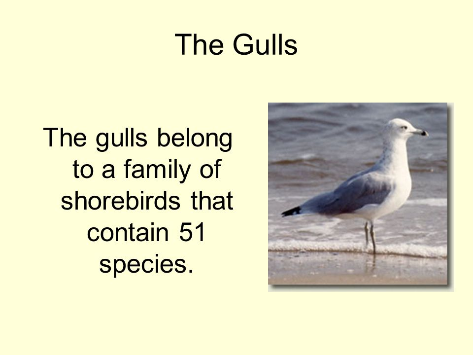 The Gulls The gulls belong to a family of shorebirds that contain 51 species.