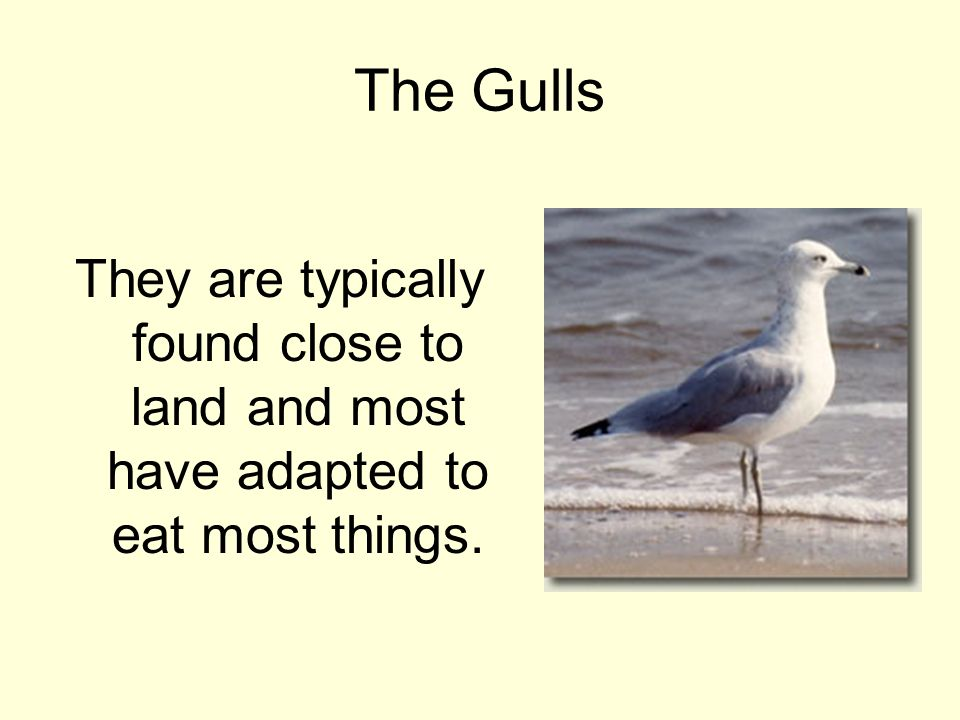 The Gulls They are typically found close to land and most have adapted to eat most things.