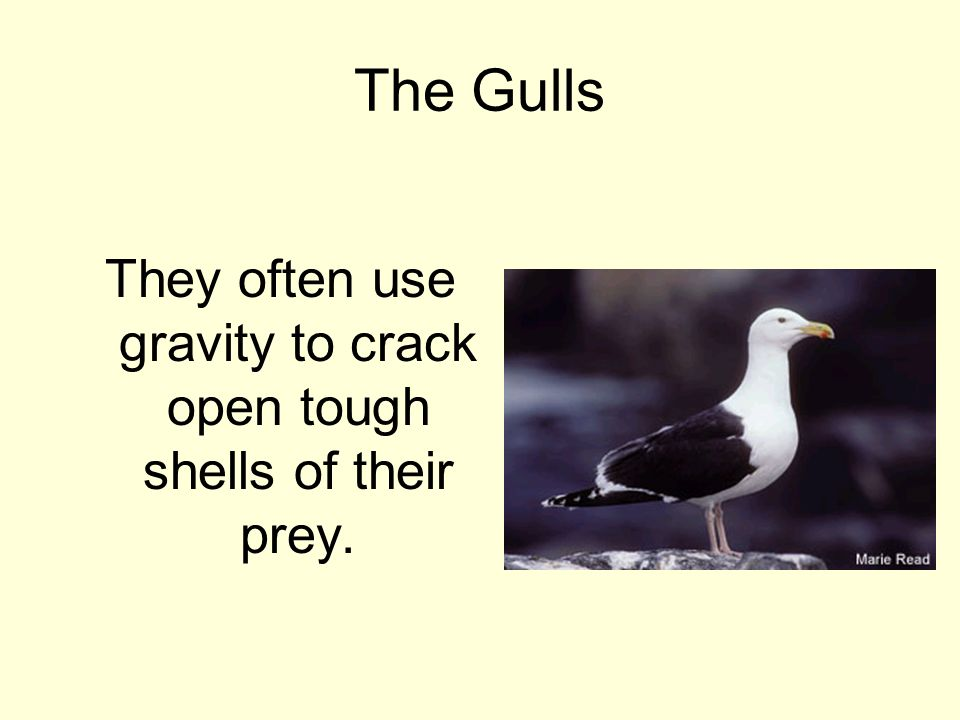 The Gulls They often use gravity to crack open tough shells of their prey.