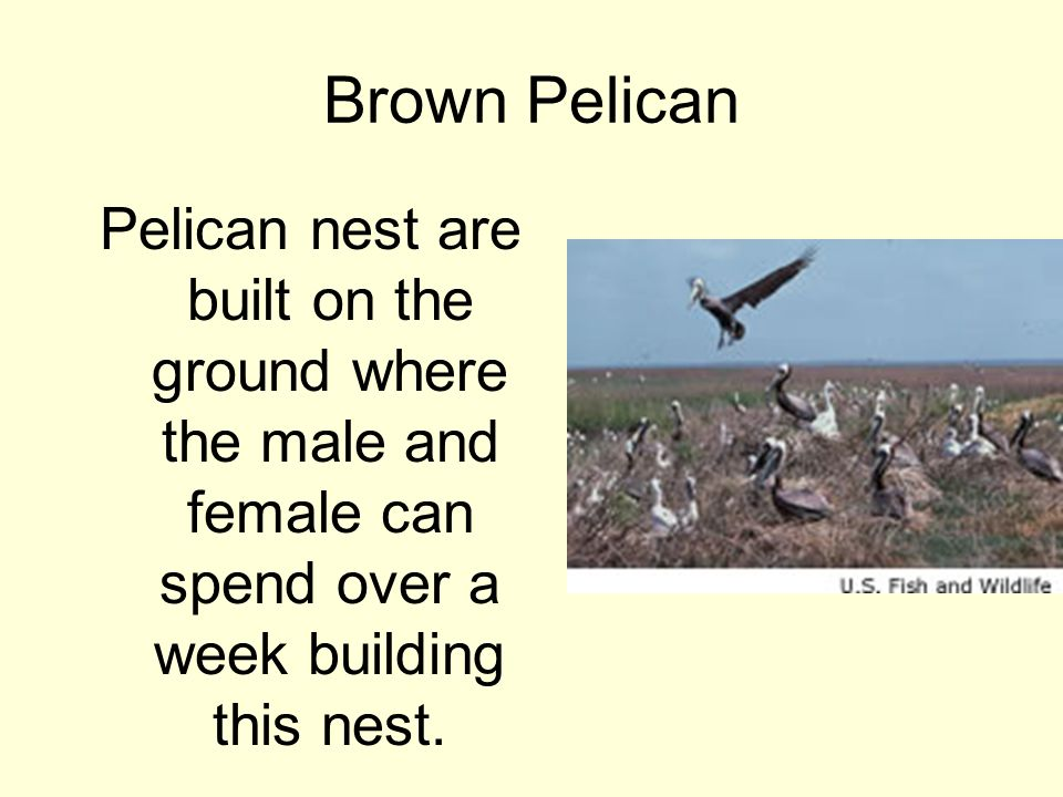 Brown Pelican Pelican nest are built on the ground where the male and female can spend over a week building this nest.
