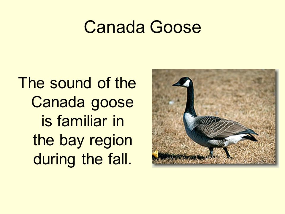 Canada Goose The sound of the Canada goose is familiar in the bay region during the fall.