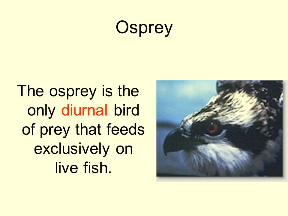 Osprey The osprey is the only diurnal bird of prey that feeds exclusively on live fish.