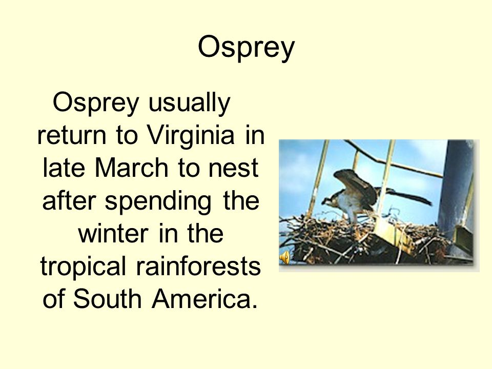 Osprey Osprey usually return to Virginia in late March to nest after spending the winter in the tropical rainforests of South America.