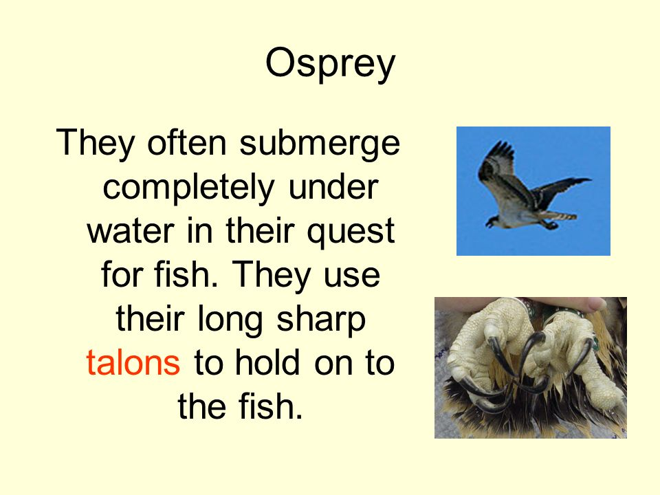 Osprey They often submerge completely under water in their quest for fish.