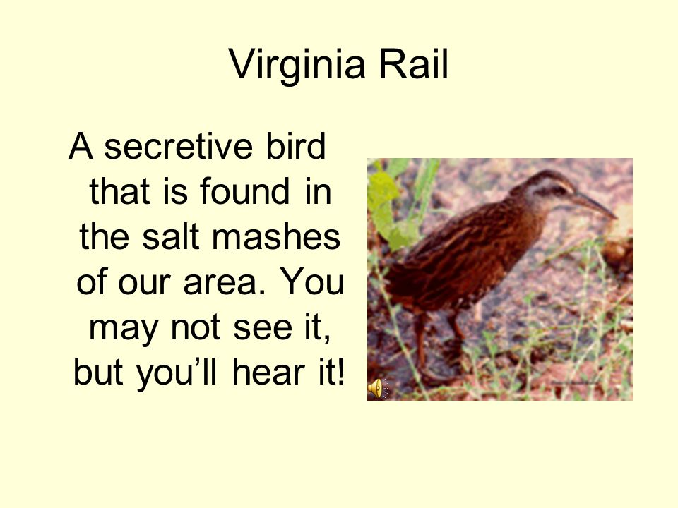 Virginia Rail A secretive bird that is found in the salt mashes of our area.