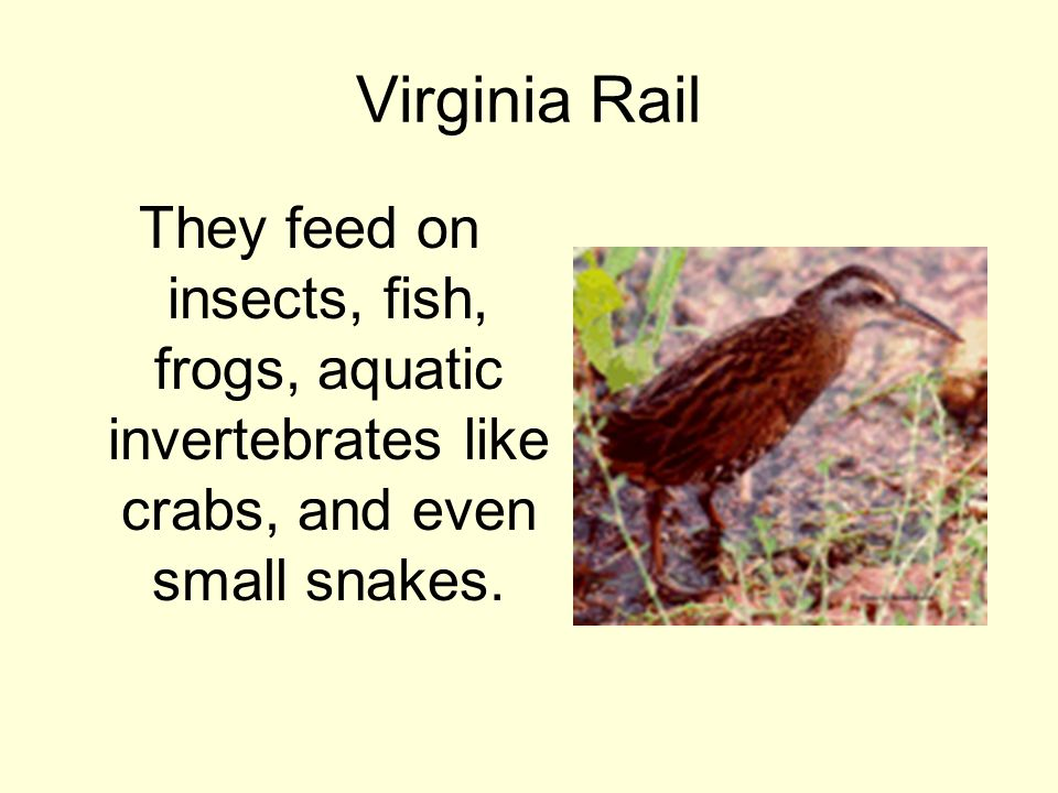 Virginia Rail They feed on insects, fish, frogs, aquatic invertebrates like crabs, and even small snakes.
