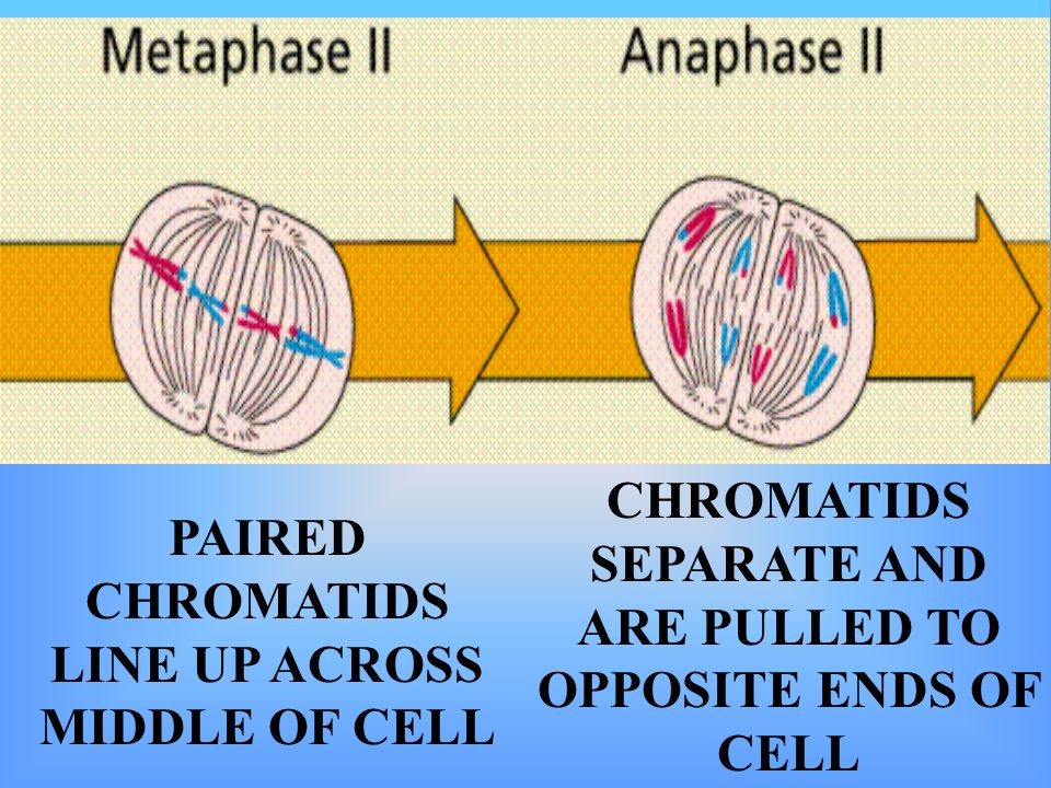 PAIRED CHROMATIDS LINE UP ACROSS MIDDLE OF CELL CHROMATIDS SEPARATE AND ARE PULLED TO OPPOSITE ENDS OF CELL