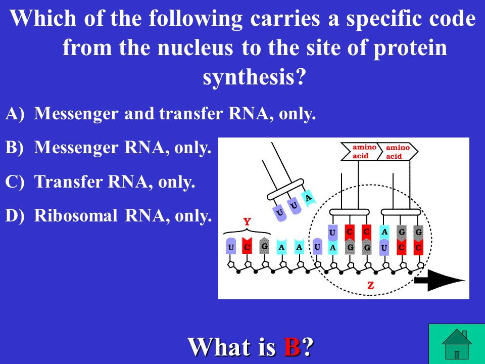 What is A. Which of the following carries amino acids to the site of protein synthesis.