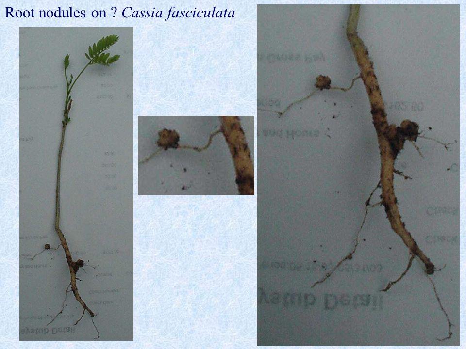 15 Root nodules on ? Cassia fasciculata
