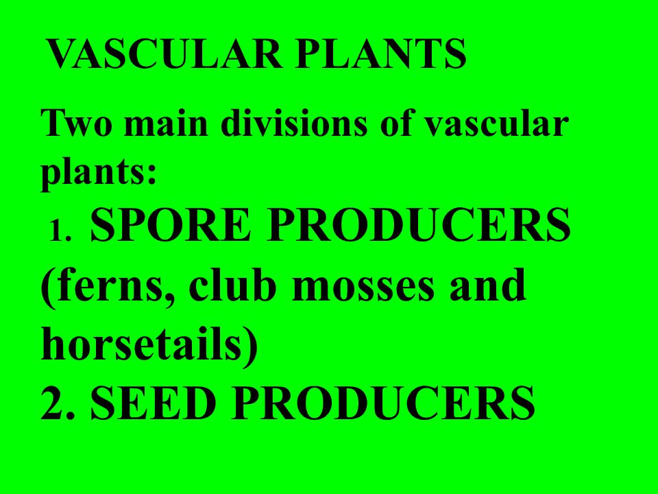 Two main divisions of vascular plants: 1. SPORE PRODUCERS (ferns, club mosses and horsetails) 2. SEED PRODUCERS VASCULAR PLANTS