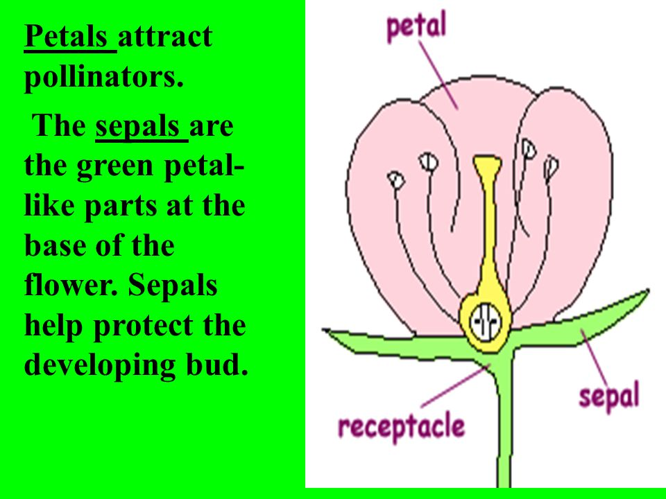 Petals attract pollinators. The sepals are the green petal- like parts at the base of the flower. Sepals help protect the developing bud.