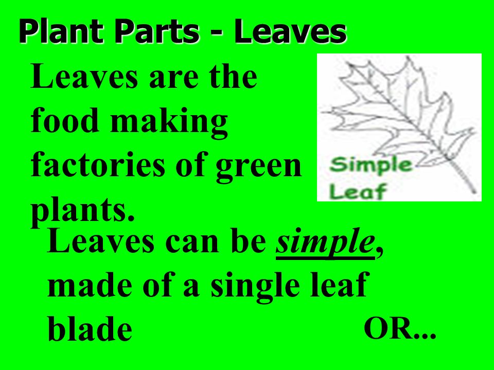 Plant Parts - Leaves Leaves are the food making factories of green plants. Leaves can be simple, made of a single leaf blade OR...