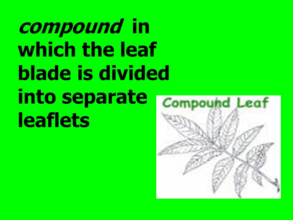 compound in which the leaf blade is divided into separate leaflets