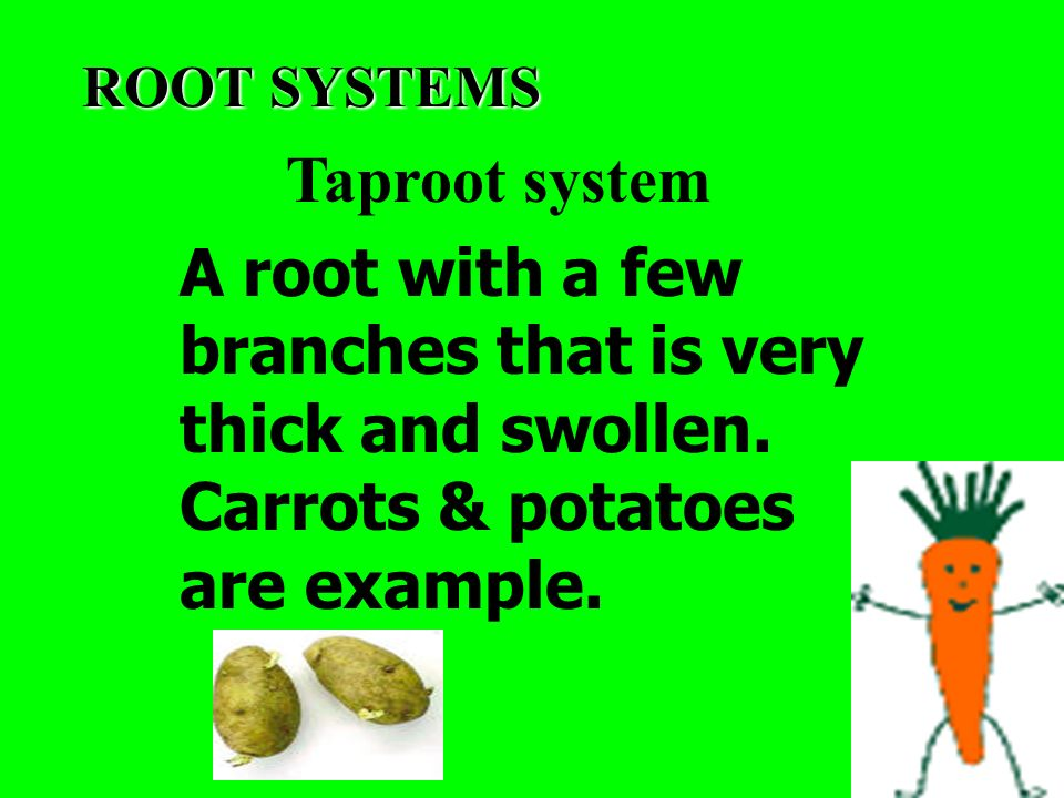 ROOT SYSTEMS Taproot system A root with a few branches that is very thick and swollen.