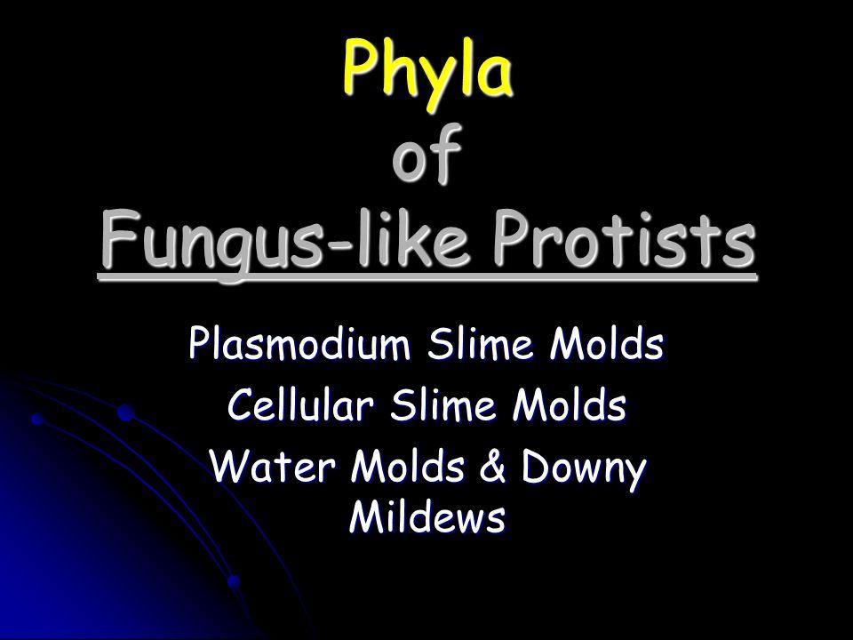 Phyla of Fungus-like Protists Plasmodium Slime Molds Cellular Slime Molds Water Molds & Downy Mildews