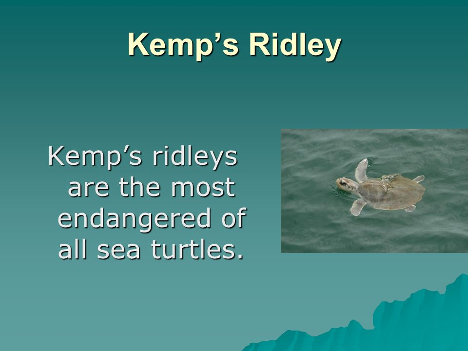 Kemps Ridley Kemps ridleys are the most endangered of all sea turtles.
