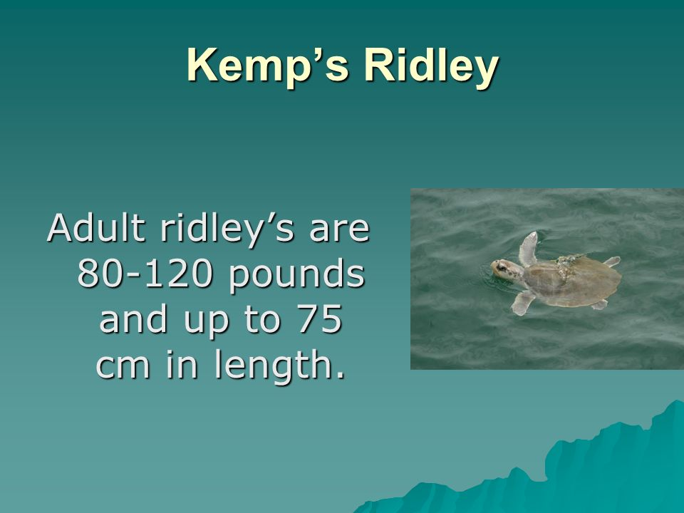 Kemps Ridley Adult ridleys are pounds and up to 75 cm in length.