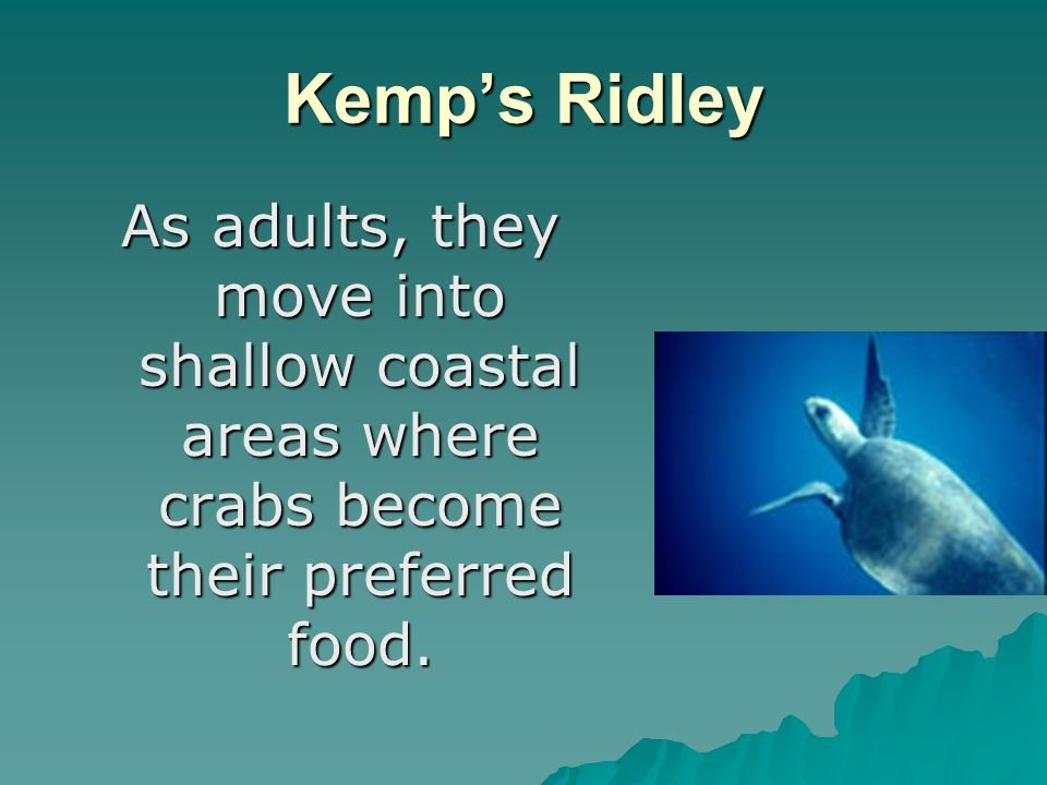 Kemps Ridley As adults, they move into shallow coastal areas where crabs become their preferred food.