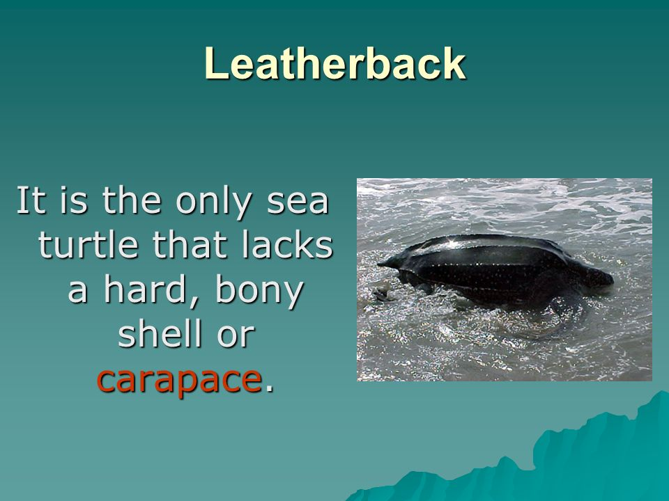 Leatherback It is the only sea turtle that lacks a hard, bony shell or carapace.